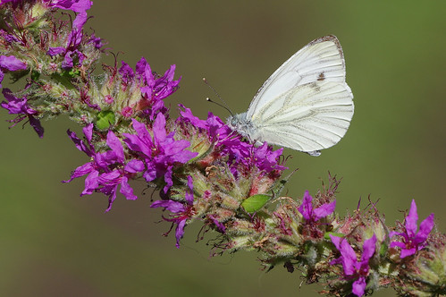 cambridgeshire waresleywood butterfly insect nature wild wildlife greenveinedwhite pierisnapi purpleloosestrife