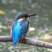 Kingfisher -202010300125.jpg