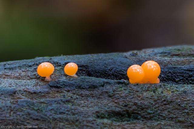 Trichia decipiens Slime Mould