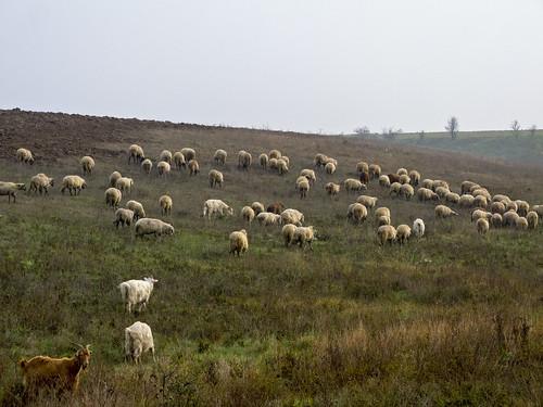 landscape ilfov românia flock sheep nature colors outside animals