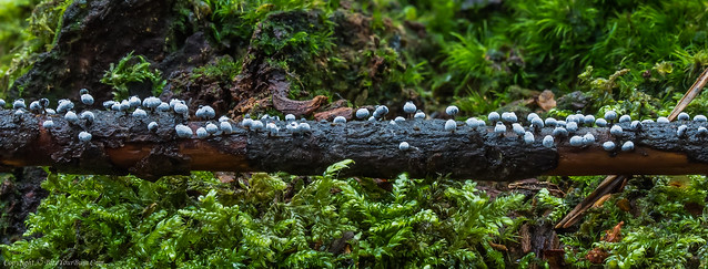 ? Physarum alba Slime Mould