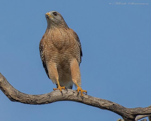 Red-shouldered Hawk on a snag