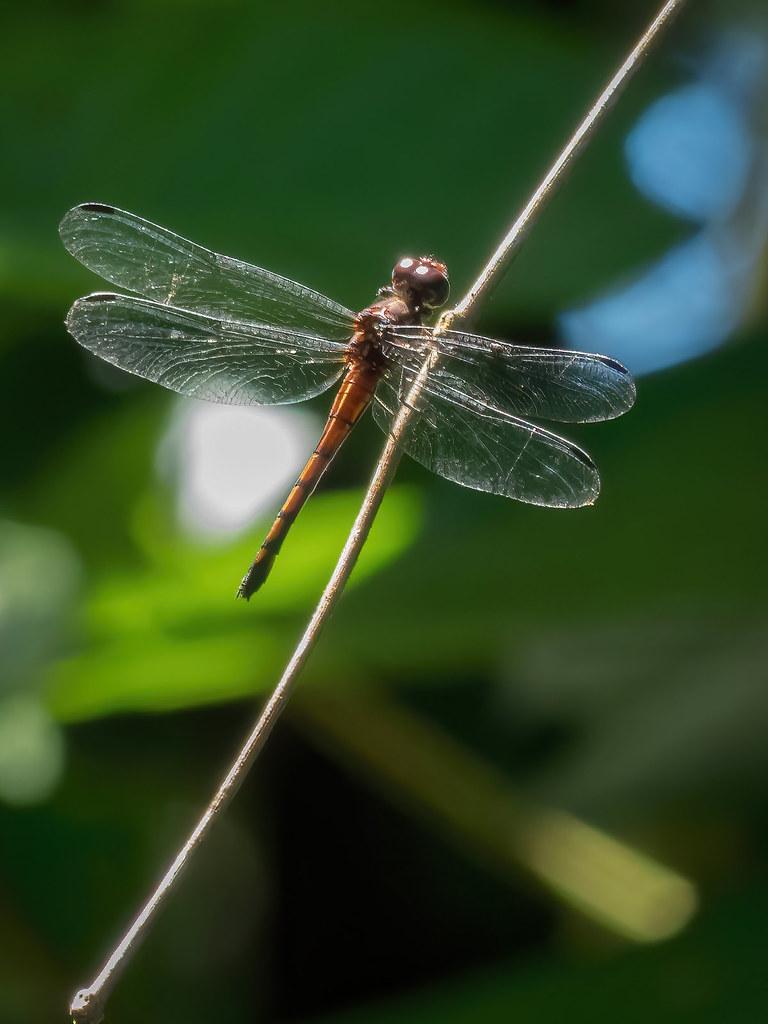 Une autre libellule tico... 50547159213_7793efb033_b