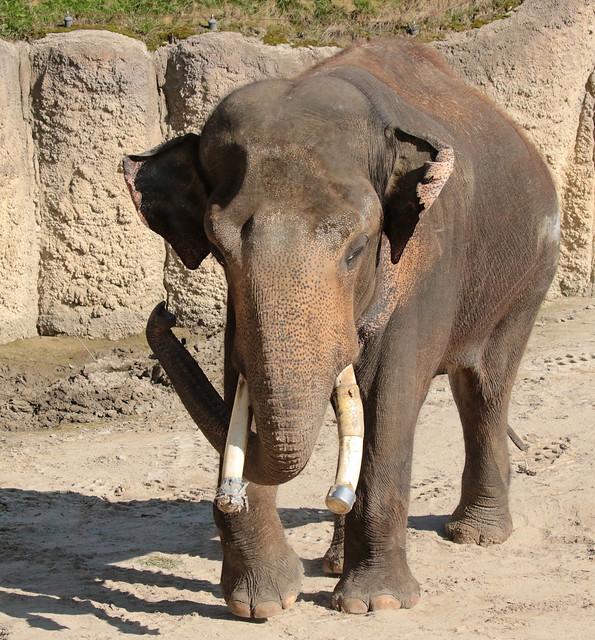 asiatic elephant Timber Wildlands 094A0362