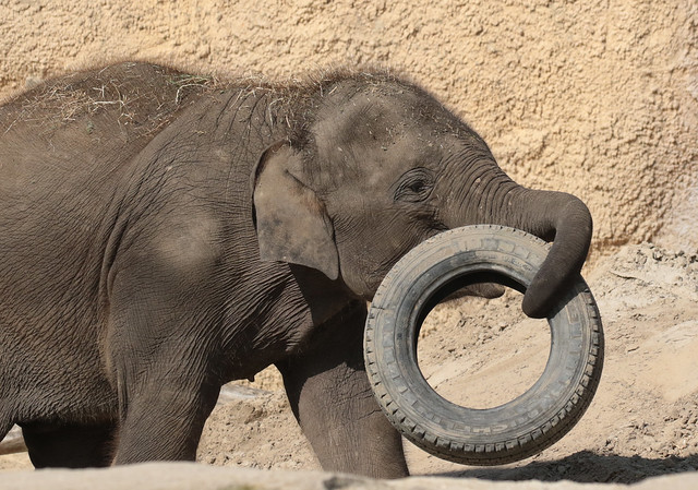 asiatic elephant Wildlands 094A0924