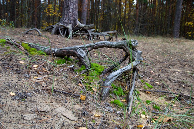 Pine roots
