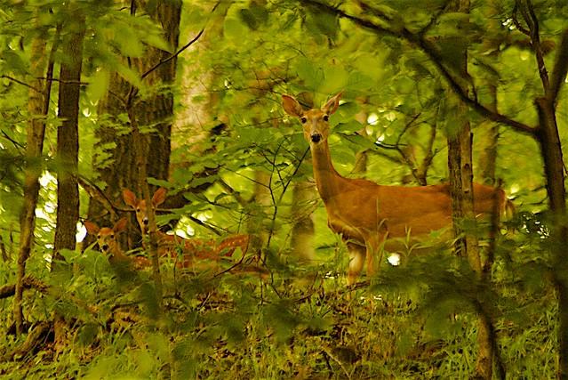 Beautiful Deer Family