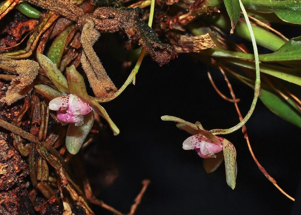 Kefersteinia sanguinolenta; Orchidaceae (3)