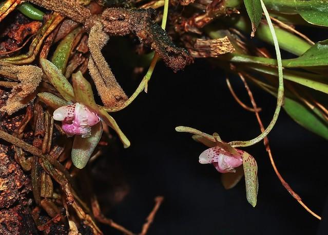 Kefersteinia sanguinolenta; Orchidaceae (3a)