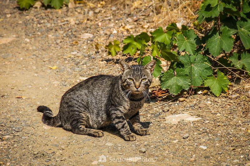 Un gato junto al Camí del Rec cerca del Mas de Mates