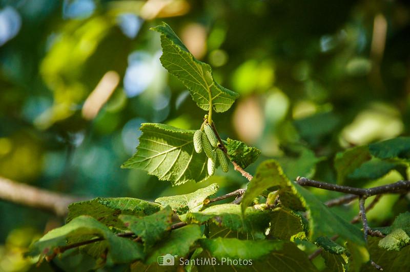 Flores masculinas de avellano en el Camí del Rec