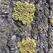 Lichen on a linden tree in Pohjoisranta street