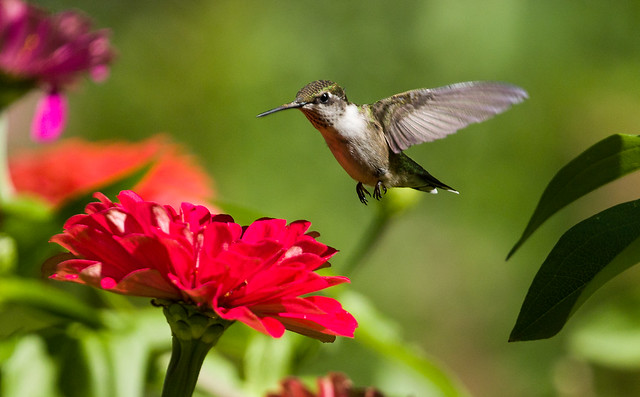 0P7A2306   Ruby-throated Hummingbird, Canada