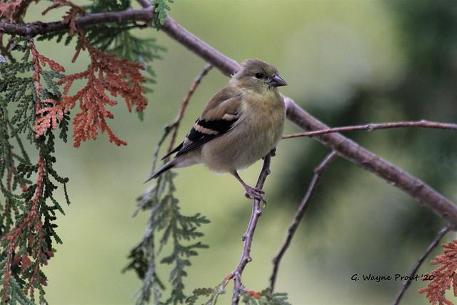 American Goldfinch (Carduelis tristis)(Juvenile)