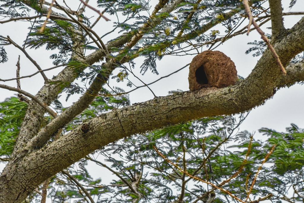 Nido de Hornero // Rufous Hornero's Nest
