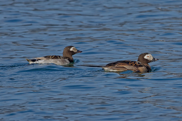Морянка, Clangula hyemalis, Long-tailed Duck