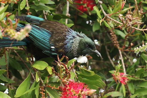 <p>Man I love Tui. They are the most gorgeous bird around. I found this one having a feast on these Rata flowers right next to the footpath on our street.</p>