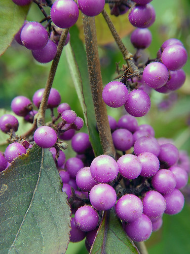 purple Beauty Berry; comes out in October