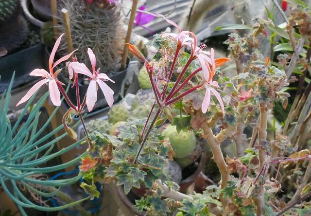 Pelargonium Bird Dancer 10-20