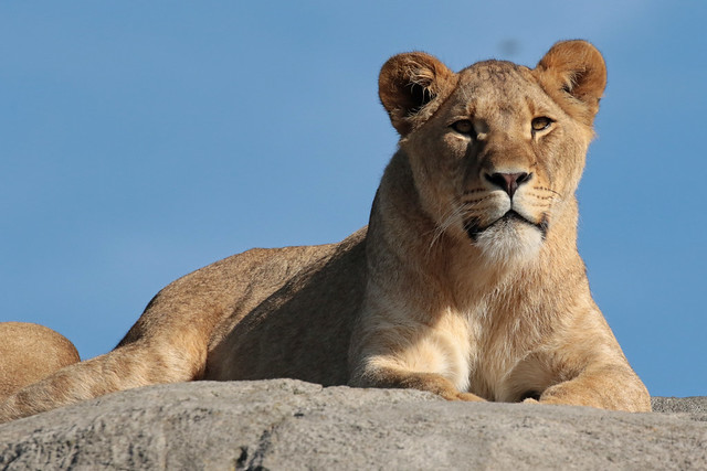 african lion Wildlands 094A0020