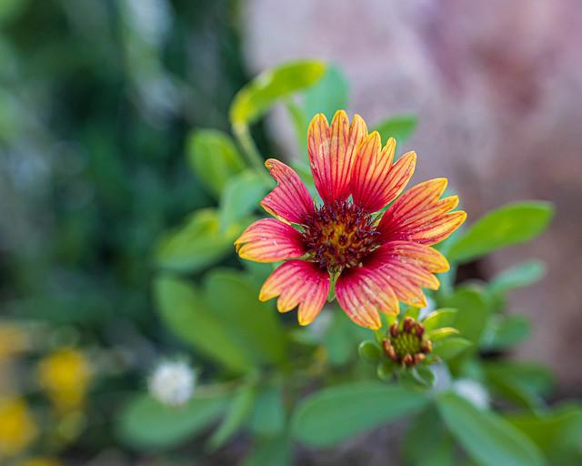Flower--Indian Blanket Kind