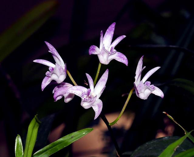 Dendrobium Jesmond Glitter hybrid orchid 10-20