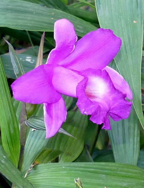 Sobralia Roseo-macrantha 'Leatrice Christine' primary hybrid orchid 10-20