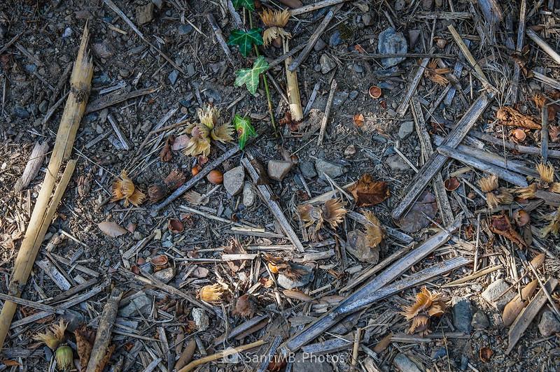 Avellanas en el suelo del Camí del Rec cerca del final