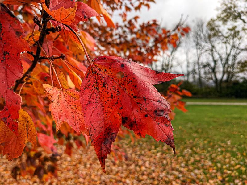 Red oak leaf on the tree.