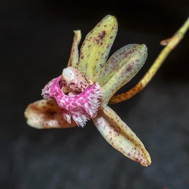 Kefersteinia sanguinolenta; Orchidaceae (2a)