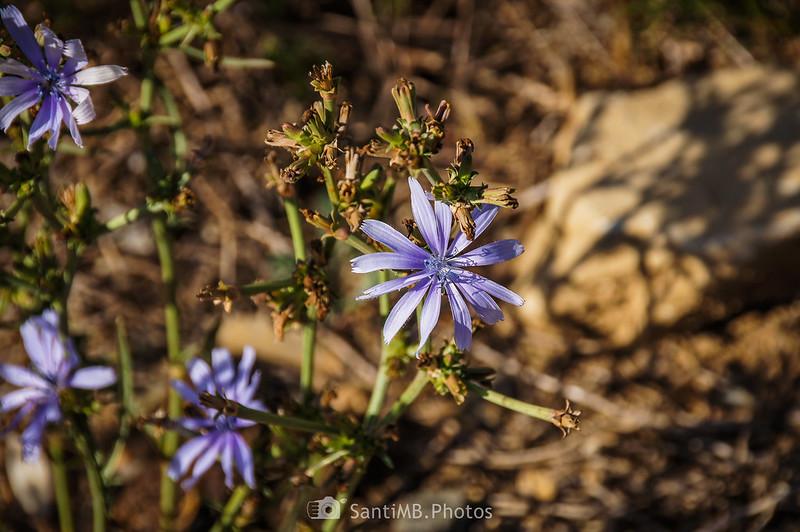 Flores de achicoria común en el Camí del Rec