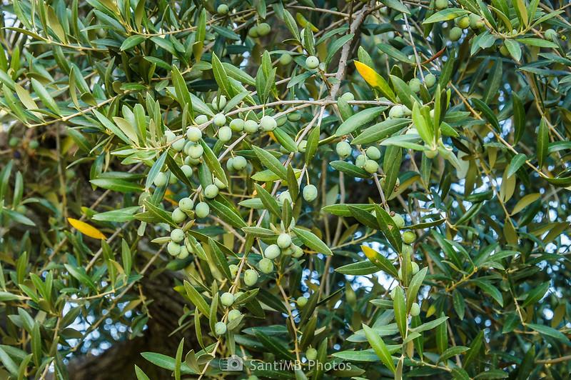 Rama de olivo en el Camí del Rec
