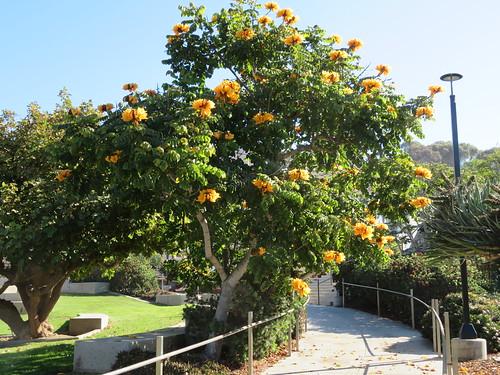African Tulip Tree - UCSD Campus