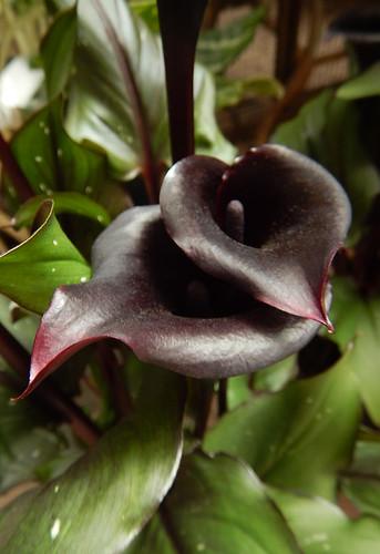 Deep-purple, almost black, Calla Lilies