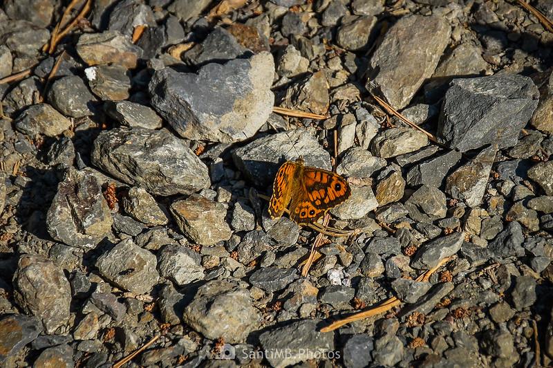 Mariposa saltacercas en el Camí Natural Muntanyes de Prades
