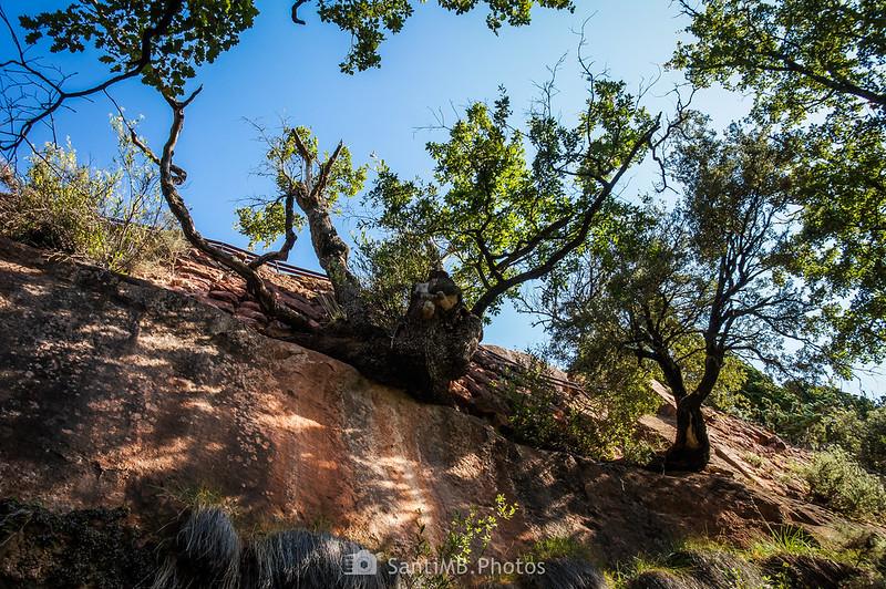 Encina en la parede de roca justo debajo de la entrada a l'Abellera