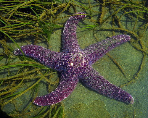 A purple starfish in the waters of the Sunshine Coast of British Columbia