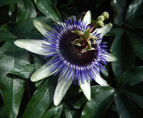This purple and white Passionflower, Passiflora mexicana, truly is the flower that symbolizes the death of Christ for the people of Mexico and Central America where it originated