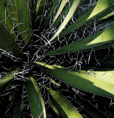 Stringy Yucca with daggers of light