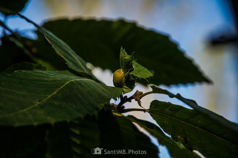 Agallas en hojas de castaño en las Muntanyes de Prades