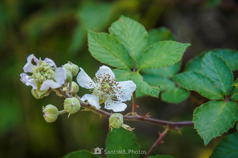 Flores de zarzamora en las Muntanyes de Prades