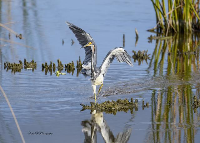 Tricolored heron fishing...