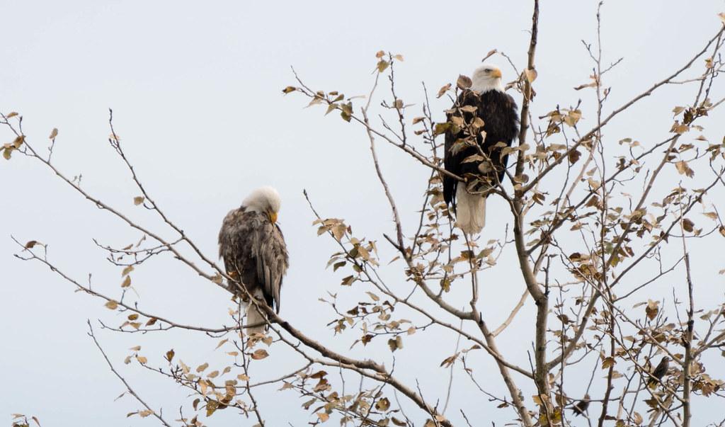 lucistic eagle (1 of 1)