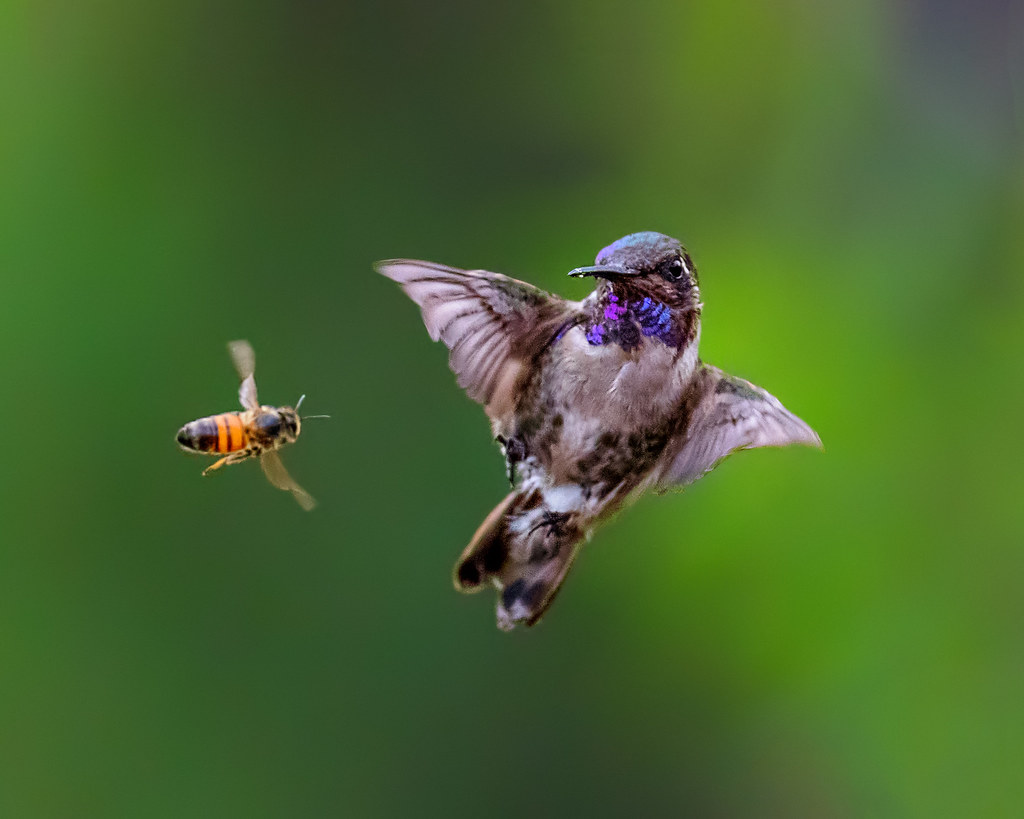 16 Questions About One Photo with Patricia Ware: A Bee and Hummingbird in Flight | Flickr Blog