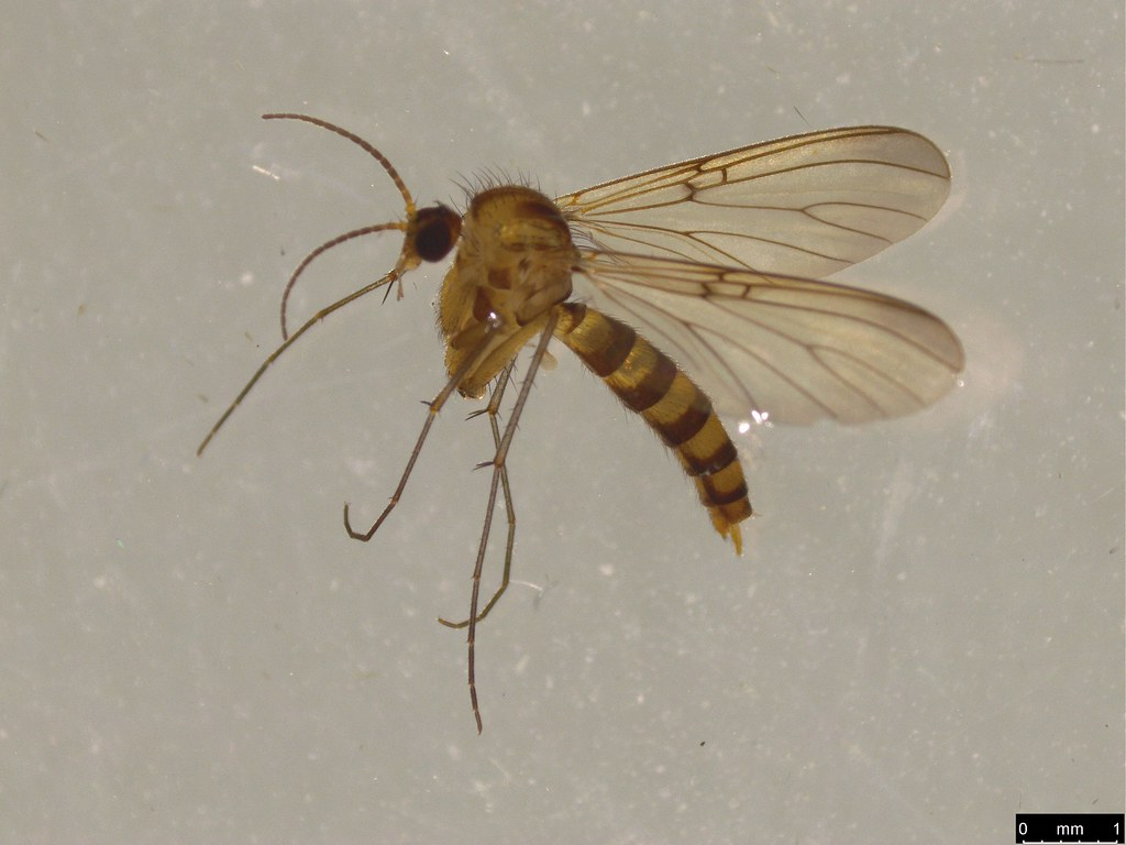 2 - Mycetophilidae sp.