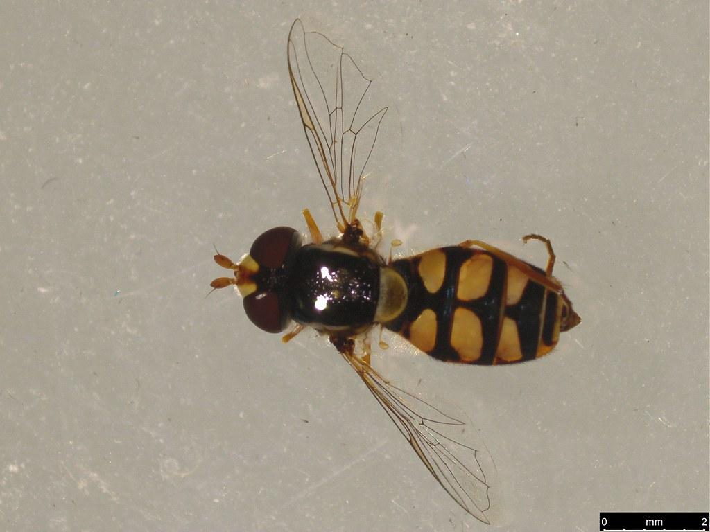 3a - Simosyrphus grandicornis (Macquart, 1842)