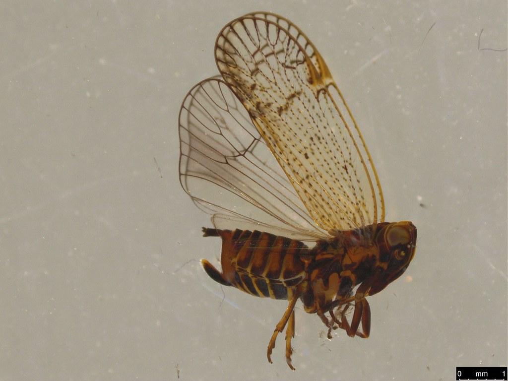4 - Cixiidae sp.