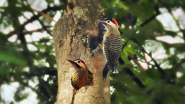 Woodpecker Pair
