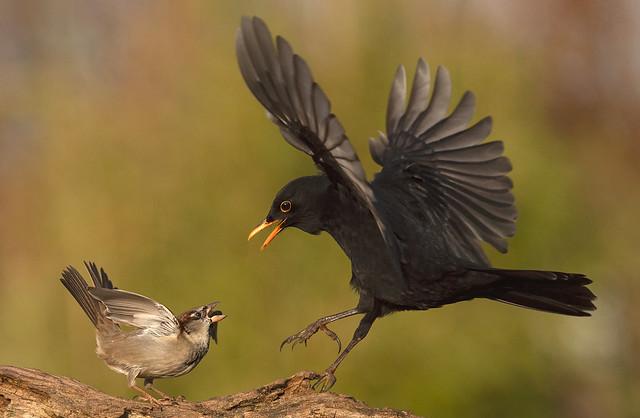 Huismus, House Sparrow, Merel, Common Blackbird,=