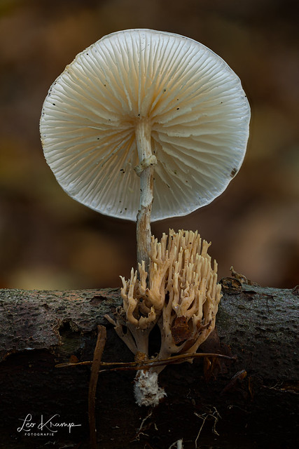 Porcelain fungus & Strict-branch coral   Porseleinzwam met rechte koraalzwam